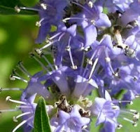 Hayıt Tohumu Faydaları,Hayıt Meyvesi Nasıl Kullanılır,Adet Öncesi Sendromlara Hayıt Meyvesi Tohumu