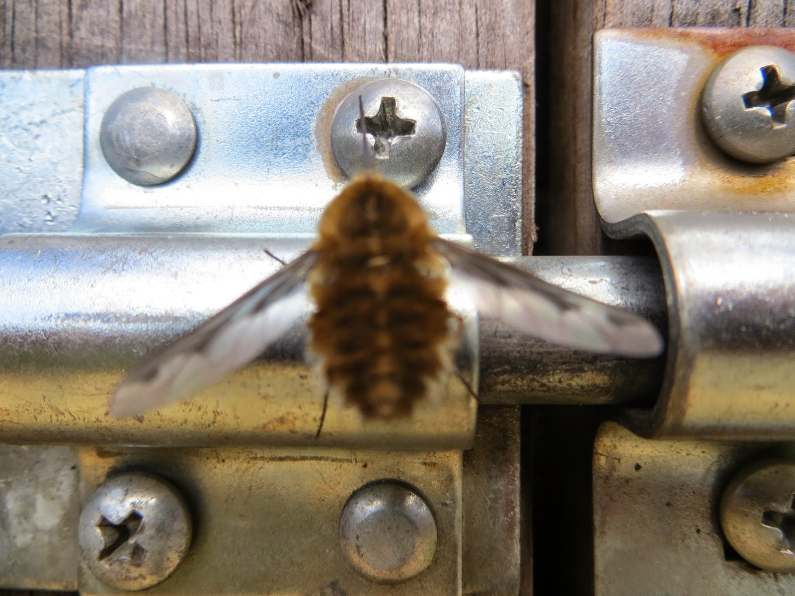 The Bee Fly