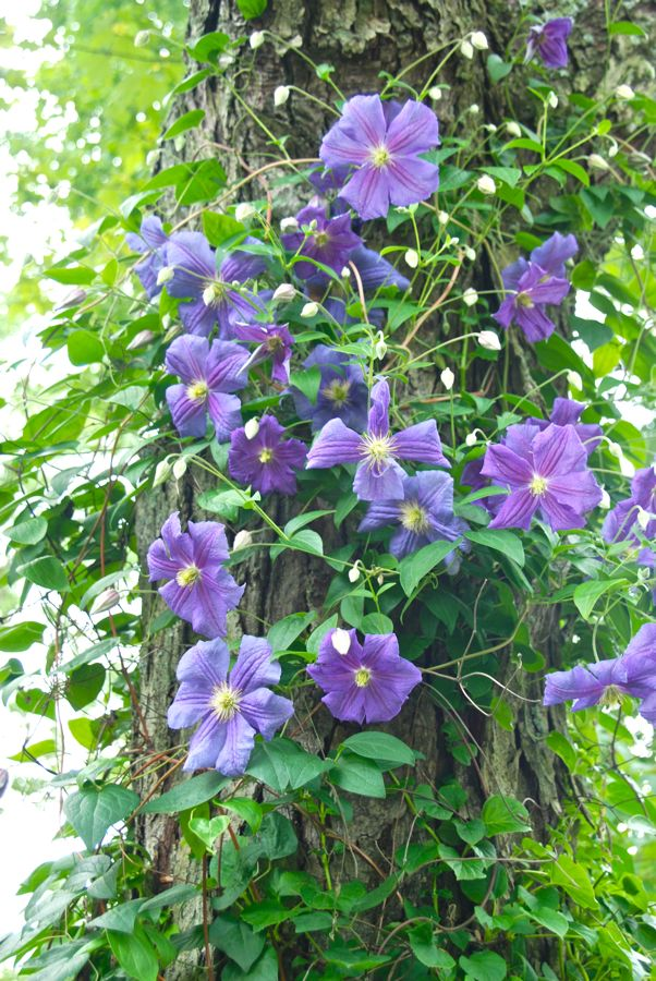 Wife mother gardener how to train a clematis on a tree trunk - Flowers that grow on tree trunks ...