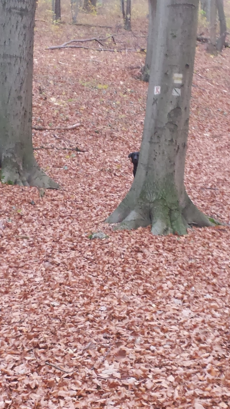 Labrador Nelly im Wald