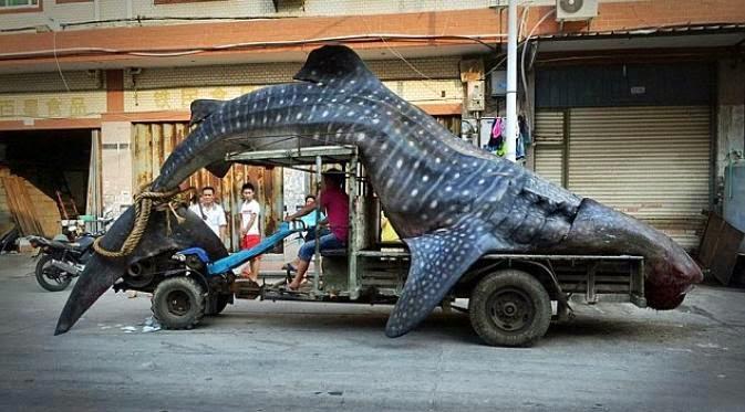 paus hiu bernasib malang