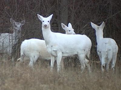 White Deer