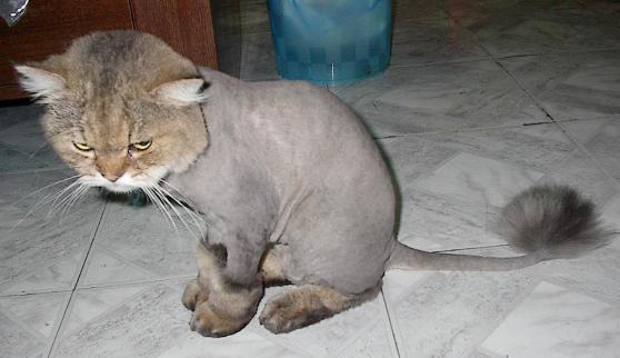 Potongan Lion Cut My Dearcats Dc