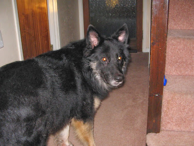 german shepherd/collie cross. Trojan. R.S.P.C.A. rescue dog.