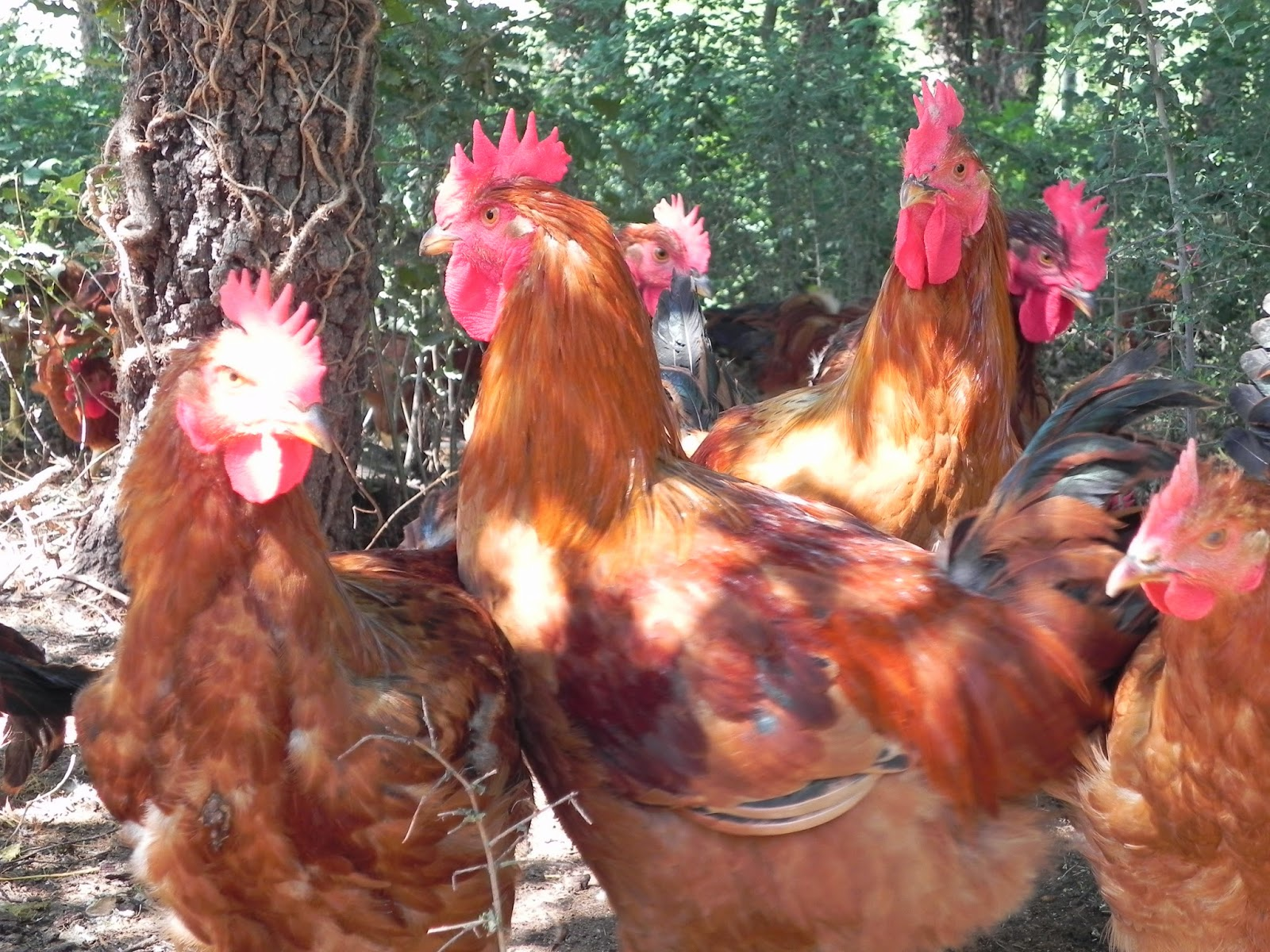comprar pollastre ecològic online