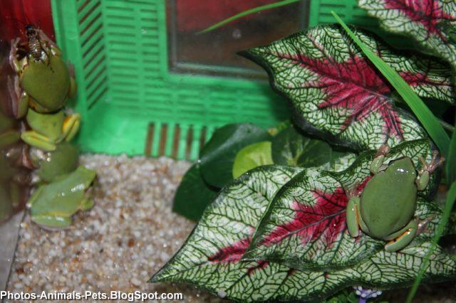 http://1.bp.blogspot.com/-bdchuaCO3KY/TaBL8u6ED3I/AAAAAAAAAnE/SnjCANRukLY/s1600/green%2Bfrog_0006.jpg