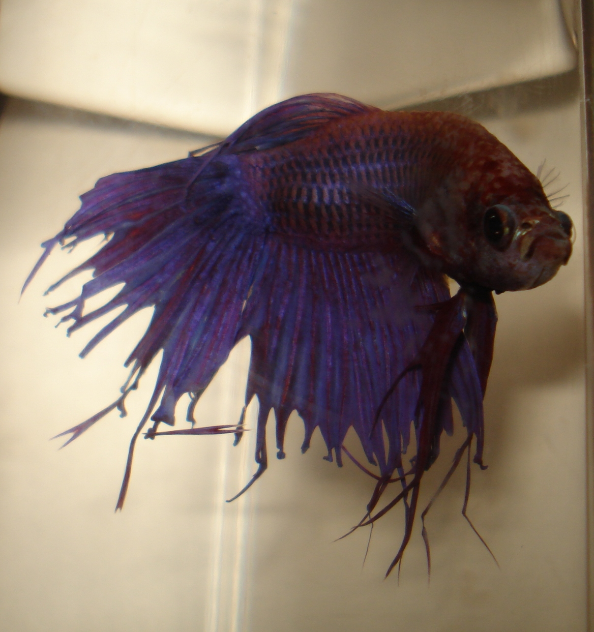 Bettas May 2012