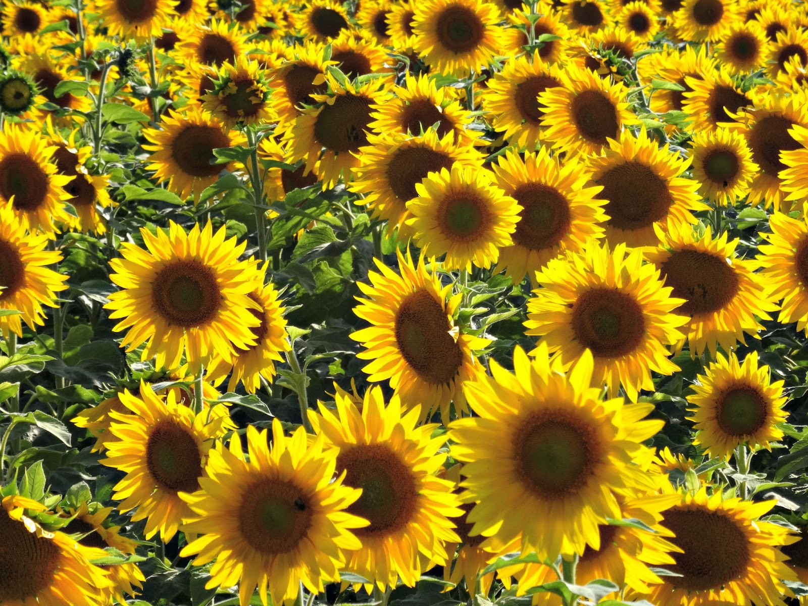 sunflowers in Germany