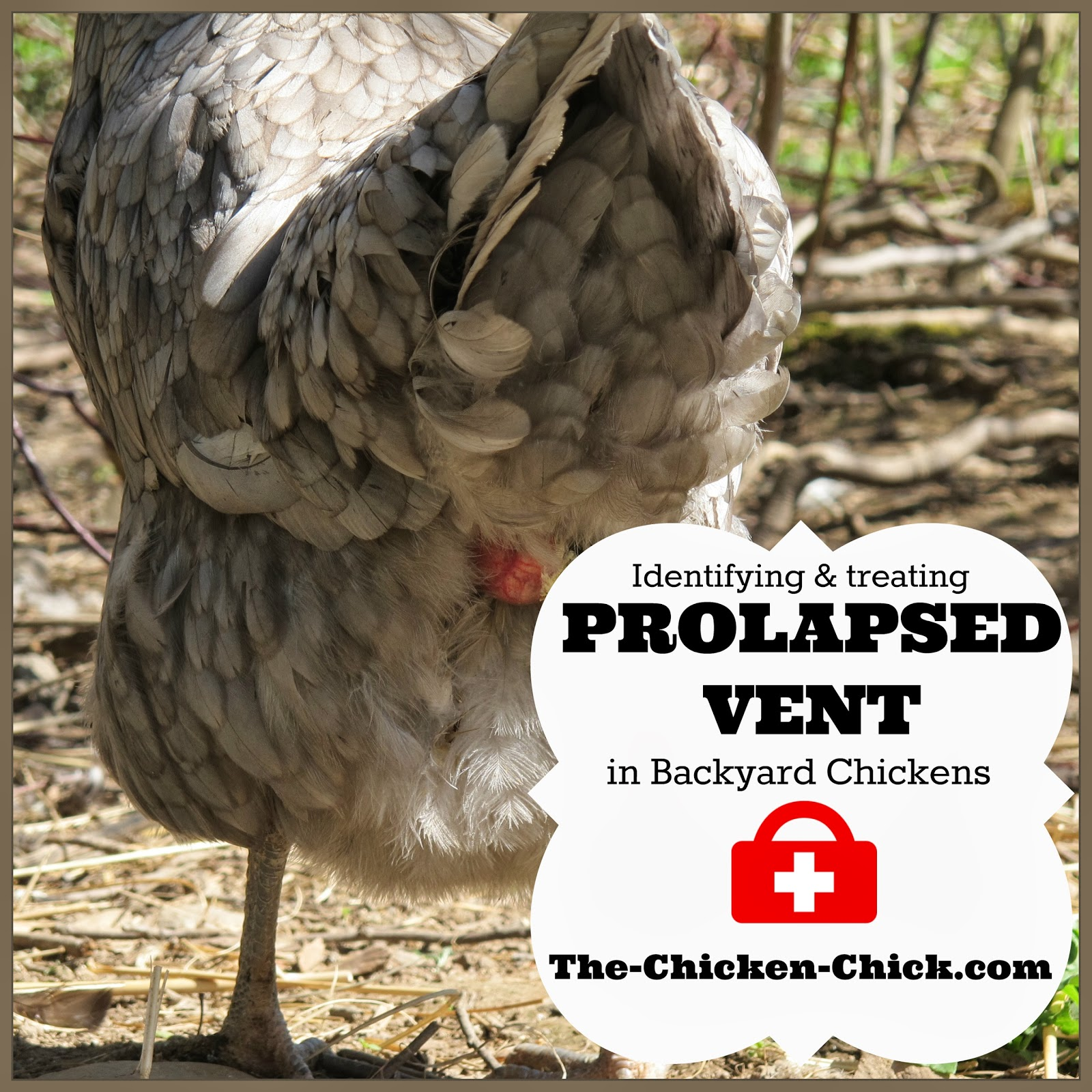 Ventilation For Chickens : Prolapse vent in chickens causes treatment graphic