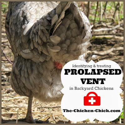 Chicken vent anatomy