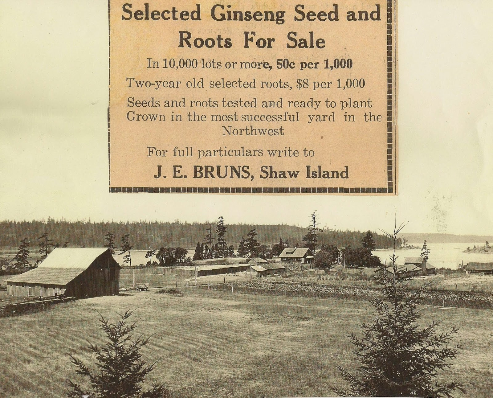 1910 WILD CHINESE GINSENG GROWING ON SHAW ISLAND