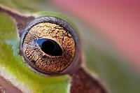 Detalle ojo de rana. foto macro