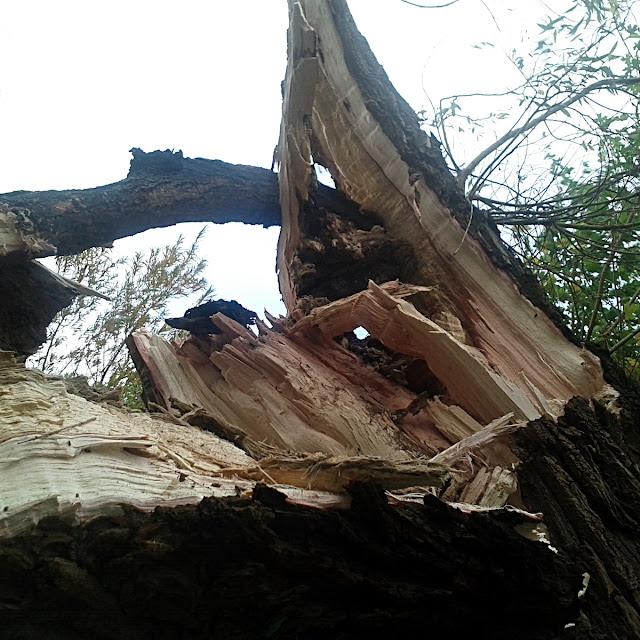 Stormfældet træ i vestenden af Utterslev Mose