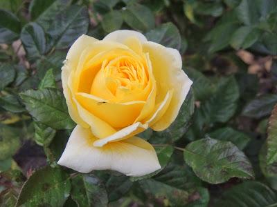 rose jaune remontant