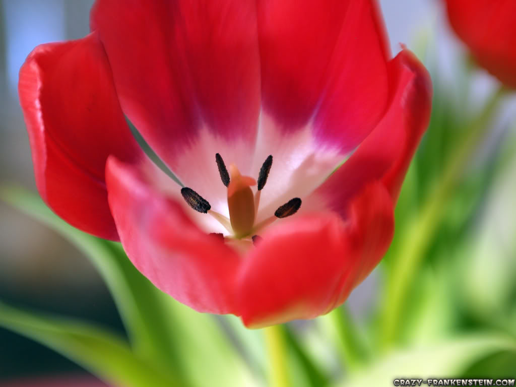 Flowers & Planets Tulip Flower Wallpapers