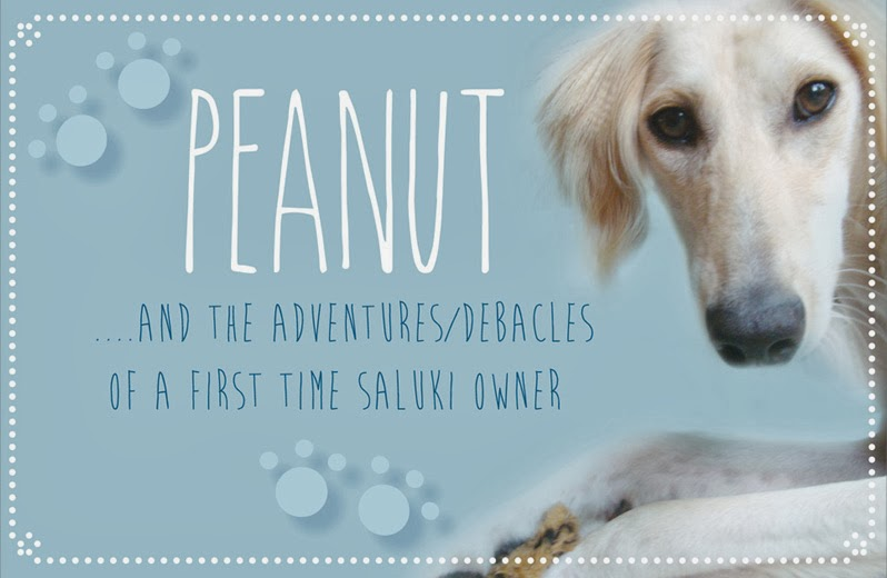 Peanut and the adventures/debacles of a first time saluki owner