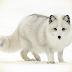 Zorro blanco polar