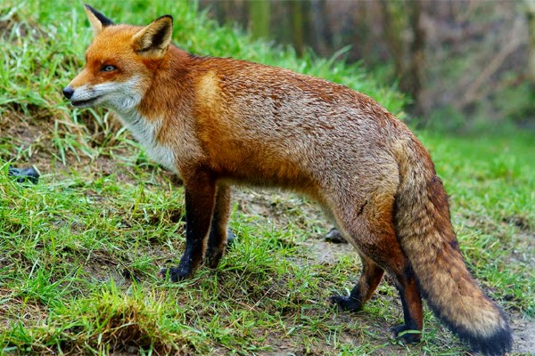 The fox curls up and covers its nose with its tail to keep warm.