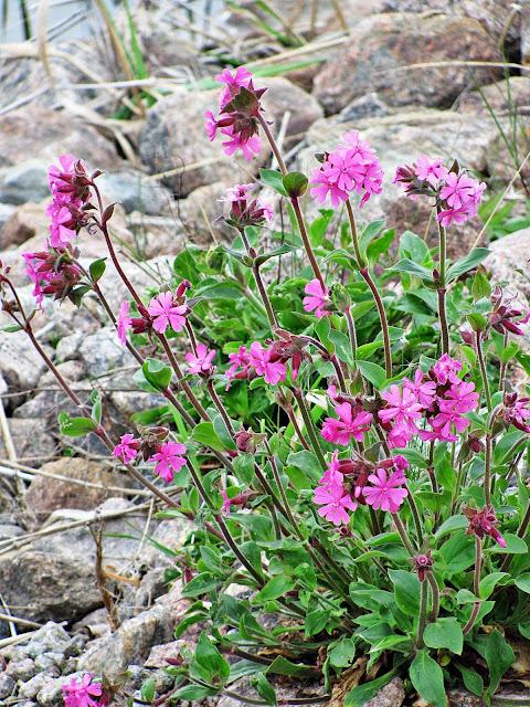 vilda blommor i maj