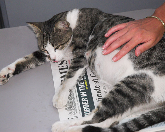 gallery for gt pregnant cat