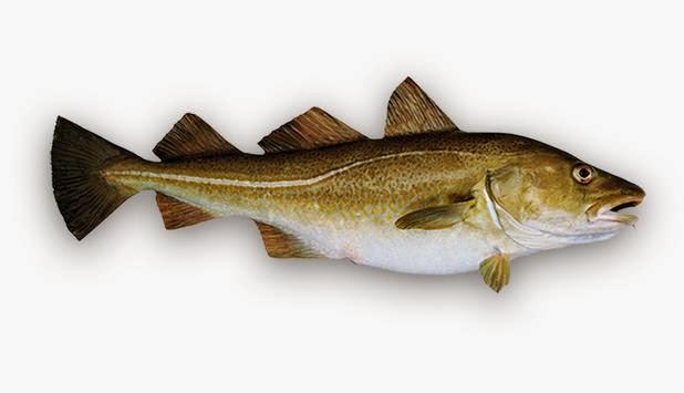 Peces: el bacalao