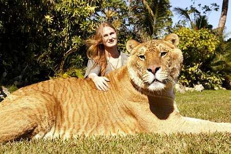 halv løve halv tiger