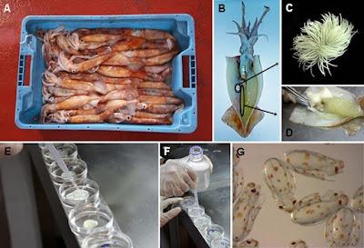 Fertilización in vitro de pota voladora © CALOCEAN