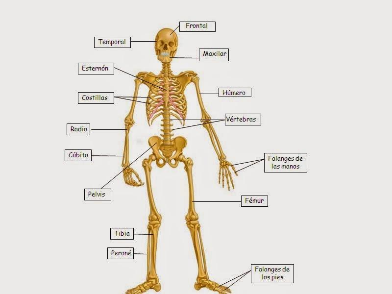 Huesos del cuerpo humano image gallery huesos del cuerpo for Interior del cuerpo humano