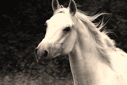 White arabian horse - photo#26