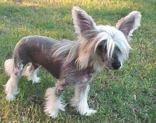 Chinese Crested,mega interessante,cachorro,curiosidades