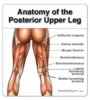 Hamstring anatomy