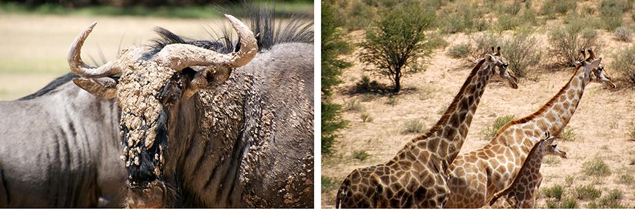 Ynas Reise Blog | Im Kgalagadi Transfrontier National Park