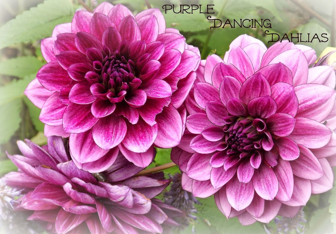 Purple Dancing Dahlias
