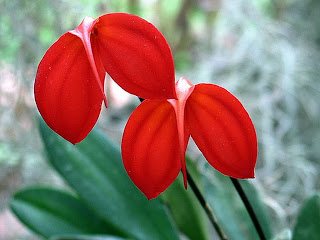 Exemplo de flores encontradas nas floriculturas de Piracicaba.