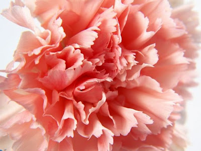 carnations flower pictures