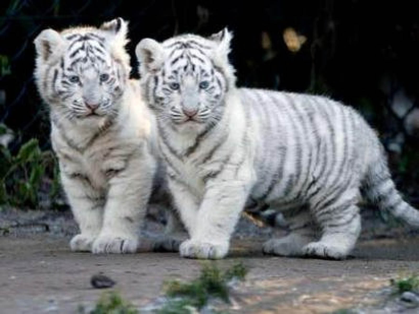 Baby White Tigers Wallpapers - 2013 Wallpapers