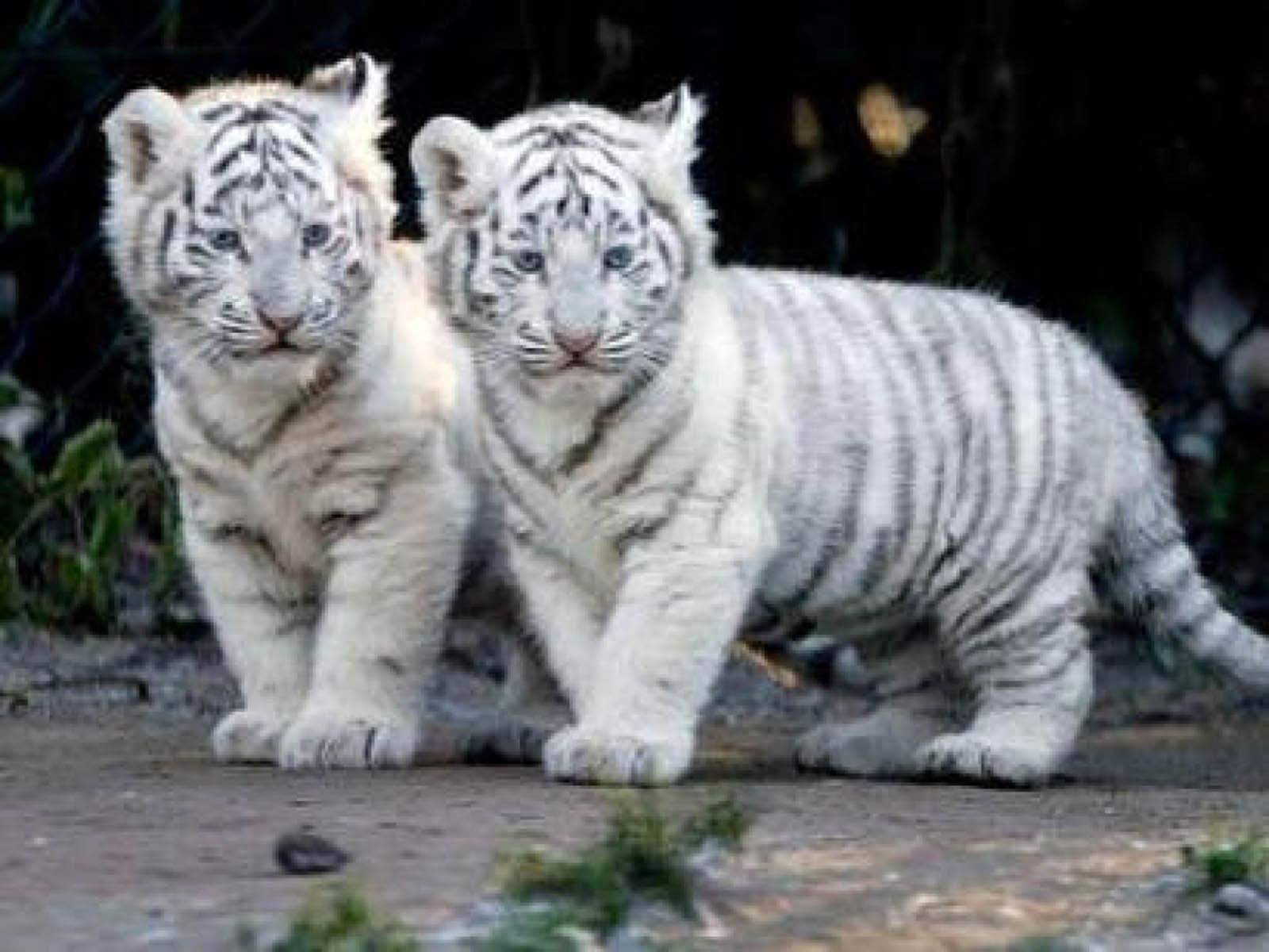 Baby siberian tiger wallpaper - photo#2