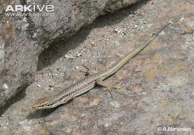 endangered asiatic lizards