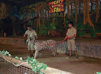 white tiger in animal parade at Zoobic Safari