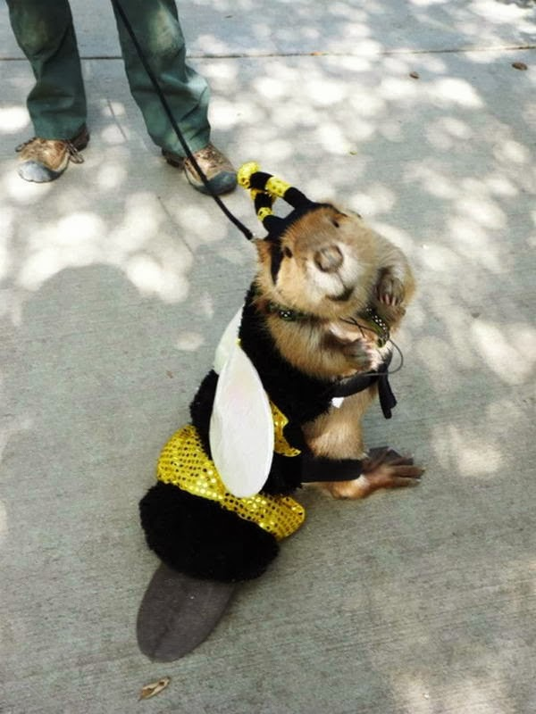 Funny animals of the week - 31 January 2014 (40 pics), beaver pet wears bumblebee costume