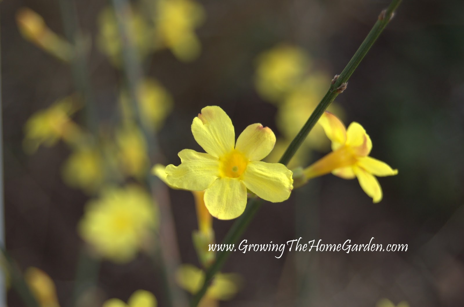 Flowers in february winter jasmine growing the home garden bright yellow flowers cover the leafless vinebush all along the length of the branch i planted my jasmine along one side of our front porch but it really izmirmasajfo