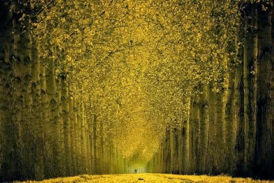 الغابة الصفراء