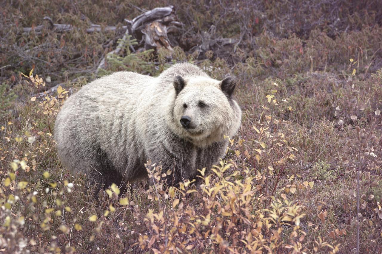 Grolar bear - photo#3