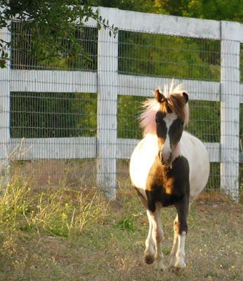 Miniature Horse, © B. Radisavljevic