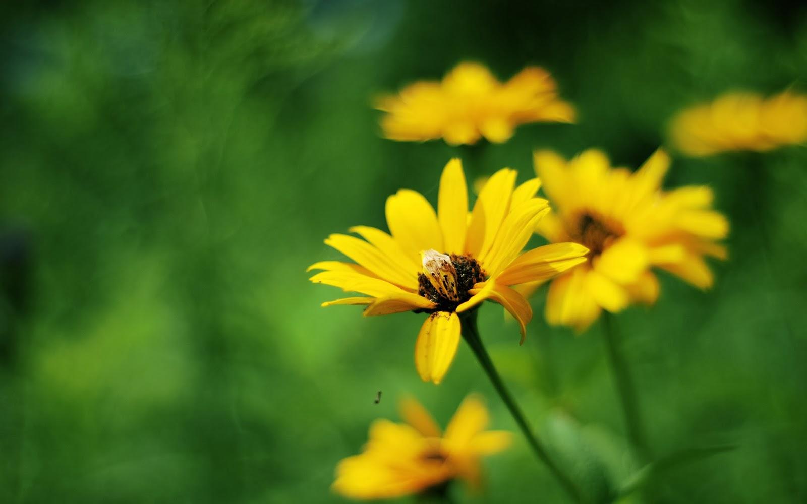 "<img src=""http://1.bp.blogspot.com/-bja5VO9UKBE/UuFjCcCAEvI/AAAAAAAAJ_4/J7Qat6qoOJY/s1600/yellow-summer--flowers-wallpaper.jpg"" alt=""yellow summer flower wallpaper"" />"