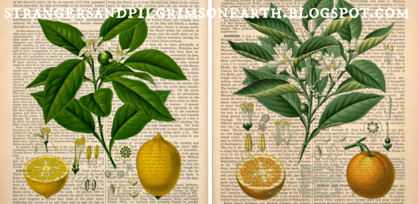 http://strangersandpilgrimsonearth.blogspot.com.au/2016/01/antique-citrus-art-prints-pottery-barn.html