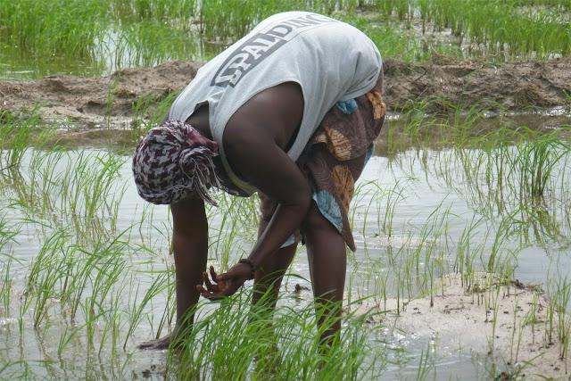 Trabajando en el arrozal