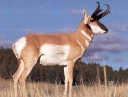 Top 10 Haiwan Terpantas Di Dunia antelop