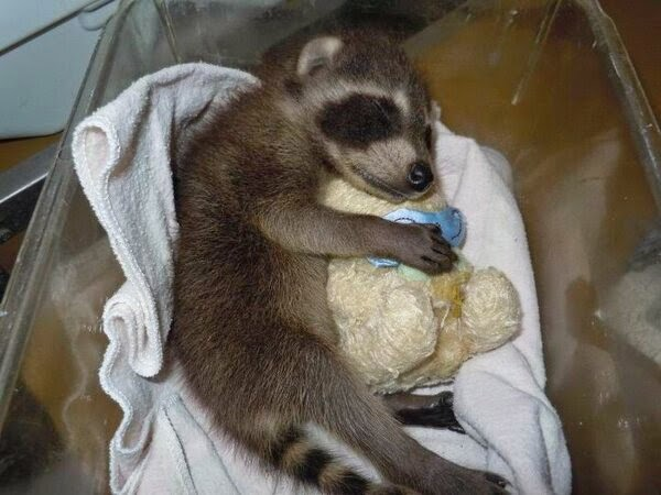 Funny animals of the week - 9 May 2014 (40 pics), cute animals, animal photos, baby raccoon sleeps hugging stuffed animal