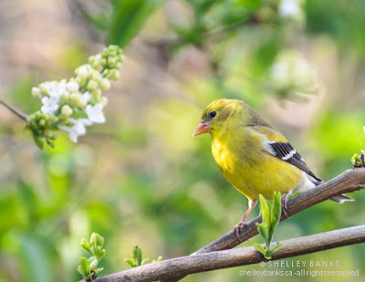 Female American Goldfinch. Photo © Shelley Banks, all rights reserved.